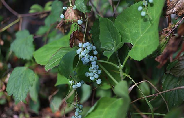 のぶどう((野葡萄)Ampelopsis glandulosa