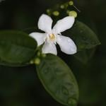 セイロンライティア(Wrightia antidysenterica (3)