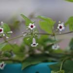 へくそかづら((屁糞葛)Paederia scandens (10)