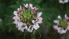せいようふうちょうそう(西洋風蝶草)Cleome spinosa (2)