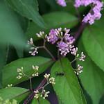 こむらさき((小紫)Callicarpa dichotoma (2)