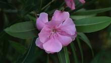 きょうちくとう((夾竹桃)Nerium oleander var. indicum