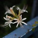 ひがんばな(彼岸花)Lycoris radiata (6)