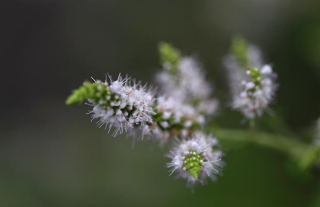 おらんだはっか((阿蘭陀薄荷)Mentha spicata (4)