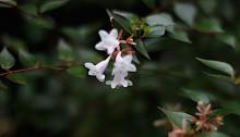 はなぞのつくばねうつぎ(花園衝羽根空木)Abelia × grandiflora (2)