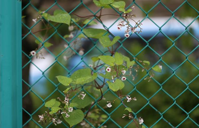 へくそかづら((屁糞葛)Paederia scandens (9)