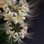 ひがんばな(彼岸花)Lycoris radiata (5)