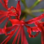 ひがんばな(彼岸花)Lycoris radiata