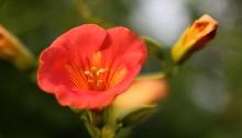 のうぜんかずら((凌霄花)Campsis grandiflora (2)