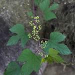 のぶどう((野葡萄)Ampelopsis glandulosa (2)