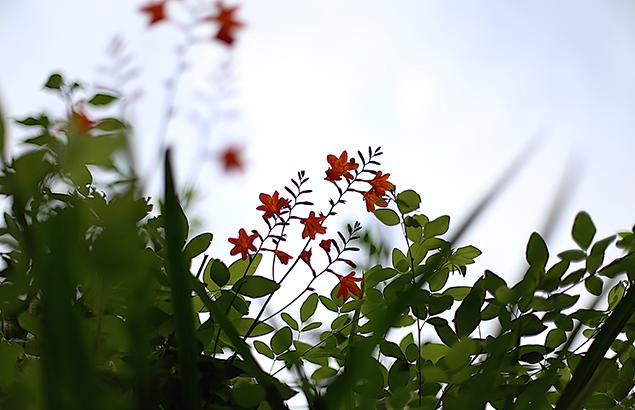 ひめひおうぎずいせん(姫檜扇水仙)Crocosmia x crocosmiiflora
