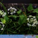 にら 韮)Allium tuberosum (8)