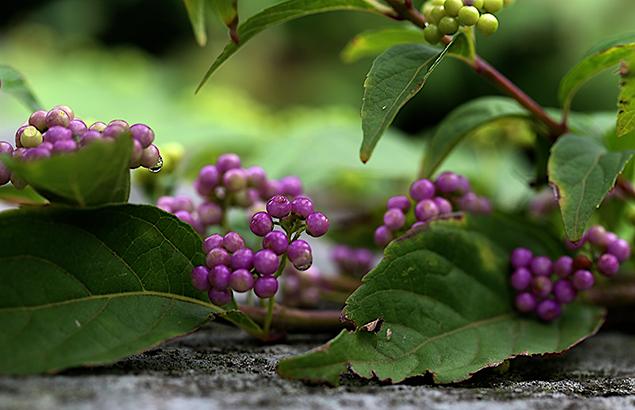 こむらさき((小紫)Callicarpa dichotoma