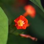 まるばるこうそう (丸葉縷紅草 )Ipomoea coccinea (4)