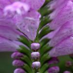 はなとらのお(花虎の尾)Physostegia virginiana (1)