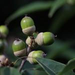 しらかし(白樫)Quercus myrsinifolia (2)