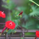 もみじばるこそう(紅葉縷紅草 )Ipomoea coccinea (1)