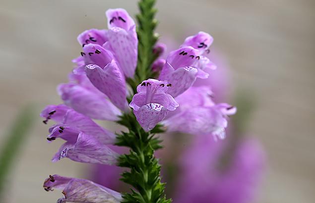 はなとらのお(花虎の尾)Physostegia virginiana (3)