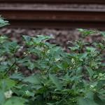 いぬほうずき (犬酸漿)Solanum nigrum (2)