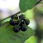 いぬほうずき (犬酸漿)Solanum nigrum