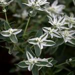 はつゆきそう (初雪草)Euphorbia marginata