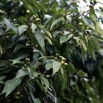 しらかし(白樫)Quercus myrsinifolia (4)