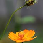 きばなこすもす(黄花秋桜)Cosmos sulphureus (2)