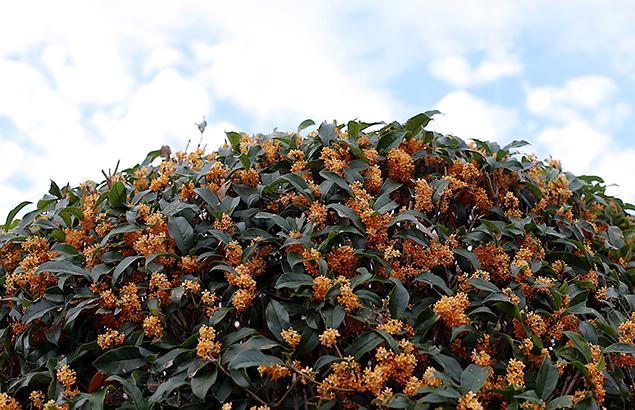 きんもくせい(金木犀)Osmanthus fragrans var. aurantiacus (1)