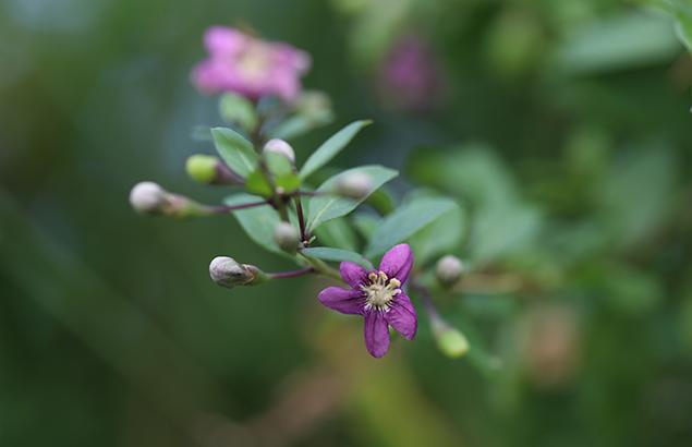 くこ(枸杞)Lycium chinense (8)