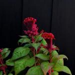 955.けいとう(鶏頭)Celosia argentea