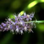 つるぼ(蔓穂)Scilla scilloides (3)