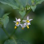 いぬほうずき (犬酸漿)Solanum nigrum (4)