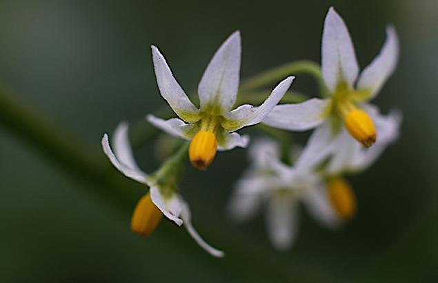 いぬほうずき (犬酸漿)Solanum nigrum (1)