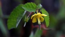 からすのごま(烏の胡麻)Corchoropsis crenata Sieb. et Zucc. (4)