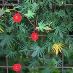 もみじばるこそう(紅葉縷紅草 )Ipomoea coccinea