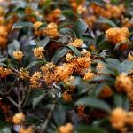 きんもくせい(金木犀)Osmanthus fragrans var. aurantiacus (2)