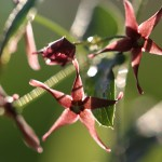 こばのかもにつる(小葉の鴎蔓)Vincetoxicum sublanceolatum (3)