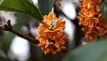 きんもくせい(金木犀)Osmanthus fragrans var. aurantiacus (4)