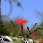 もみじばるこそう(紅葉縷紅草 )Ipomoea coccinea (3)