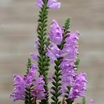 はなとらのお(花虎の尾)Physostegia virginiana (4)