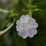 おしろいばな(白粉花)Mirabilis jalapa (1)