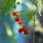 ひよどりごじょう 鵯上戸) Solanum lyratum (8)