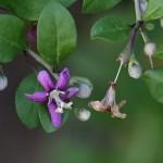 くこ(枸杞)Lycium chinense (1)