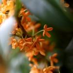 きんもくせい(金木犀)Osmanthus fragrans var. aurantiacus (3)