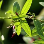 こばのかもにつる(小葉の鴎蔓)Vincetoxicum sublanceolatum (4)