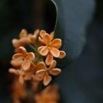 きんもくせい(金木犀)Osmanthus fragrans var. aurantiacus