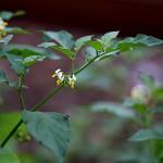 いぬほうずき (犬酸漿)Solanum nigrum (3)