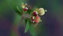 おおにしきそう大錦草)Chamaesyce nutans (2)