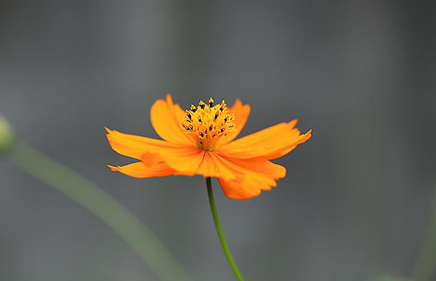 きばなこすもす(黄花秋桜)Cosmos sulphureus (1)