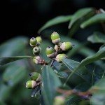 しらかし(白樫)Quercus myrsinifolia